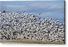 En Masse Acrylic Print by Loree Johnson