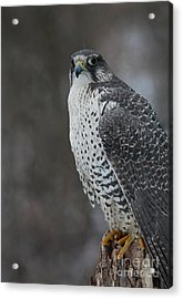 Enchanted By The Rare Gyrfalcon Acrylic Print