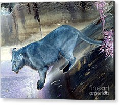 Enchanted Lioness Acrylic Print by Joseph Baril
