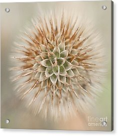 Enchanted Thistle Acrylic Print