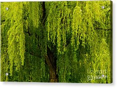 Enchanting Weeping Willow Tree  Acrylic Print