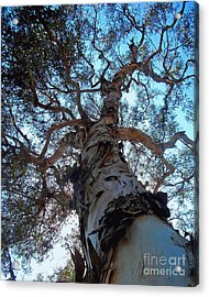 Encinitas Eucalyptus Acrylic Print