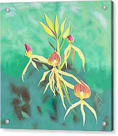 Encyclia Cochleata Orchid Acrylic Print by Joyce Small