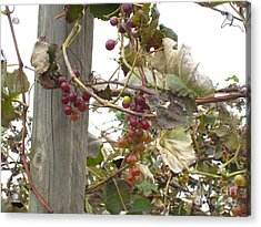 End Of Season Grapes Acrylic Print by Jennifer E Doll