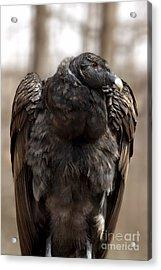 Endangered Andean Condor Acrylic Print