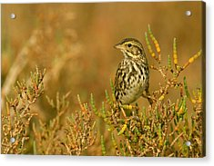 Endangered Beldings Savannah Sparrow - Huntington Beach California Acrylic Print by Ram Vasudev