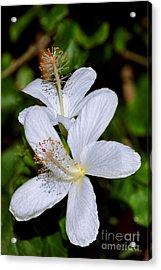 Endangered Koki'o White Hibiscus Acrylic Print