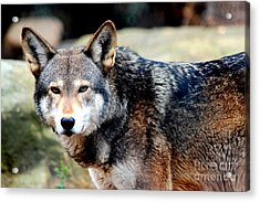 Endangered Red Wolf Acrylic Print by Kathy  White