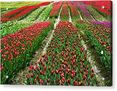 Endless Waves Of Tulips Acrylic Print by Eti Reid