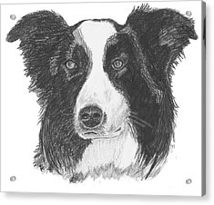 English Border Collie Acrylic Print by Catherine Roberts