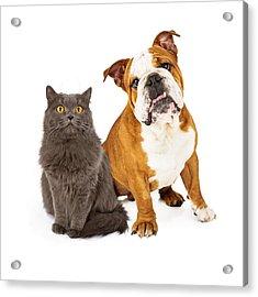 English Bulldog And Gray Cat Acrylic Print by Susan Schmitz
