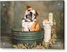 English Bulldog Portrait Acrylic Print by James BO  Insogna