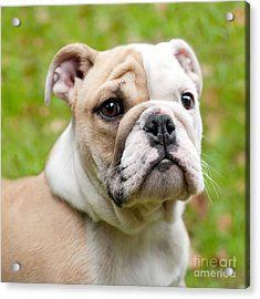 English Bulldog Puppy Acrylic Print