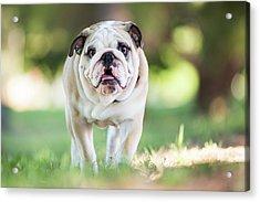 English Bulldog Puppy Walking Outdoors Acrylic Print by Purple Collar Pet Photography