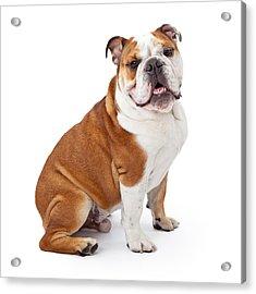English Bulldog Sitting  Acrylic Print by Susan Schmitz