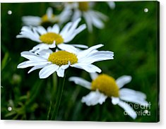 Acrylic Print featuring the photograph English Daisies by Scott Lyons
