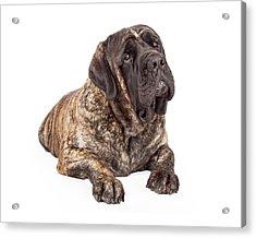 English Mastiff Dog Laying Head Tilted Acrylic Print by Susan Schmitz
