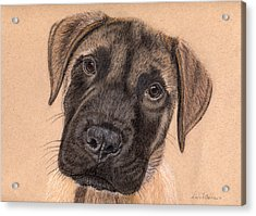 English Mastiff Puppy Acrylic Print by Nicole I Hamilton
