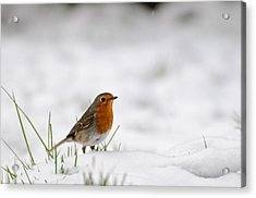 English Robin Acrylic Print by Ivelin Donchev