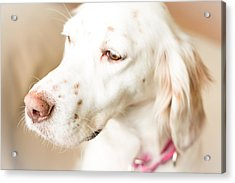 English Setter In Natural Light Acrylic Print
