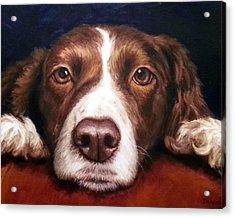 English Springer Spaniel Resting On Dark Red Acrylic Print by Dottie Dracos
