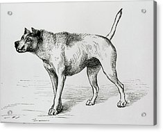 Engraving Of An Aggressive Dog Acrylic Print by Science Photo Library