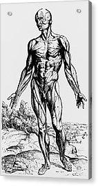 Engraving Of Muscles From De Humani Corporis Fabri Acrylic Print