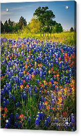 Ennis Bluebonnets Acrylic Print by Inge Johnsson