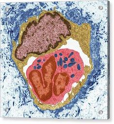 Eosinophil Acrylic Print by Steve Gschmeissner