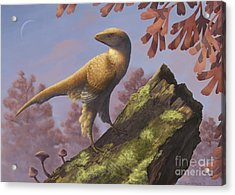 Eosinopteryx Brevipenna Perched Acrylic Print by Emily Willoughby
