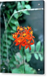 Epidendrum Ibaguense. Acrylic Print by Science Photo Library