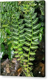 Epiphyte On A Rainforest Tree Acrylic Print by Dr Morley Read