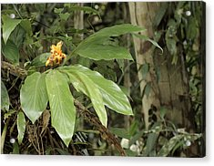 Epiphytic Ginger Hedychium Sp Acrylic Print by Fletcher & Baylis