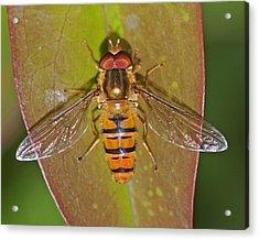 Episyrphus Balteatu Acrylic Print by Paul Scoullar