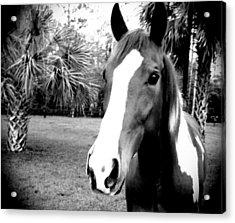 Equine Beauty Acrylic Print by Chasity Johnson