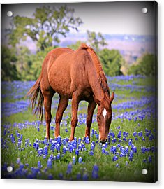 Equine Bluebonnets Acrylic Print by Stephen Stookey