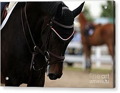 Equine Concentration Acrylic Print