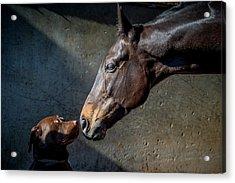 Equine Meets Canine Acrylic Print