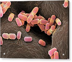 Escherichia Coli Bacteria Acrylic Print by Martin Oeggerli/science Photo Library