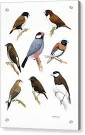 Estrildid Finches Acrylic Print