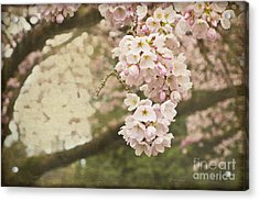 Ethereal Beauty Of Cherry Blossoms Acrylic Print