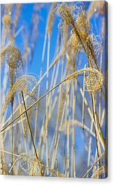 Eulalia Grass Native To East Asia Acrylic Print by Anonymous