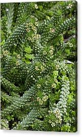 Euphorbia Caput-medusae Acrylic Print
