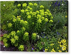 Euphorbia Flowers Acrylic Print by Bob Gibbons/science Photo Library
