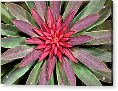 Euphorbia 'rudolph' Abstract Acrylic Print by Nigel Downer