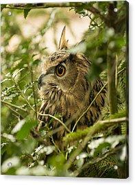 Eurasian Eagle-owl 2 Acrylic Print