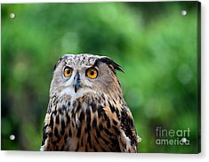 Eurasian Or European Eagle Owl Bubo Bubo Stares Intently Acrylic Print