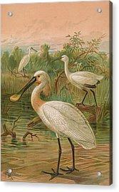 Eurasian Spoonbill Acrylic Print