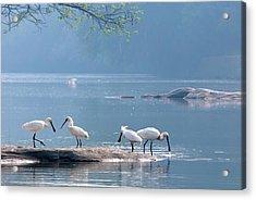 Eurasian Spoonbills Feeding Acrylic Print
