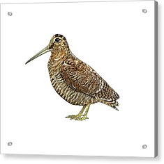 Eurasian Woodcock, Artwork Acrylic Print by Science Photo Library